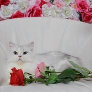 Международная Выставка Кошек «Юбилейное Мяу» фотографии
