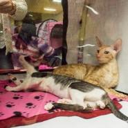 Выставка кошек «Котомания» фотографии