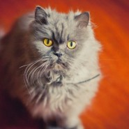 Международная выставка кошек фотографии
