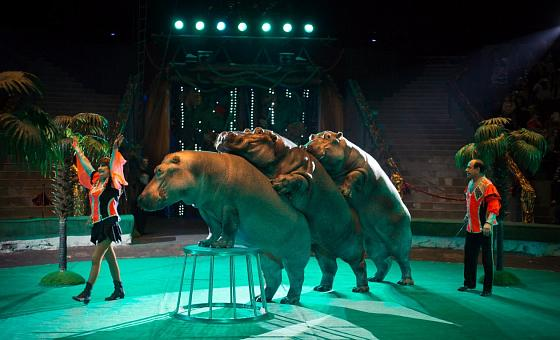 Премьера циркового шоу «Гиппопотамус»
