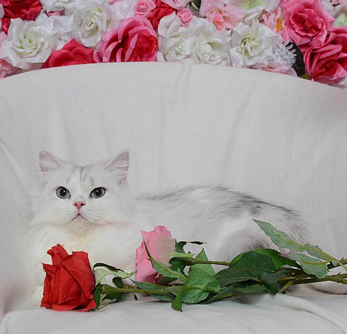 Международная Выставка Кошек «Юбилейное Мяу»